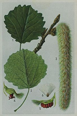 Populus Tremula (Ratelpopulier)